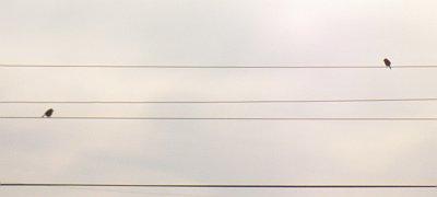 微妙な距離の百舌鳥太郎とメスのモズ