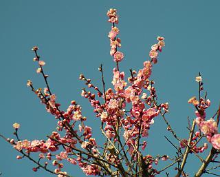 もう春のような梅の花