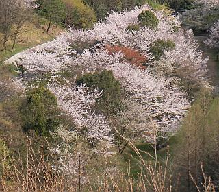 山で咲くソメイヨシノ