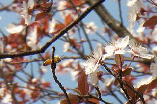 咲き始めたヒガンザクラとミツバチ