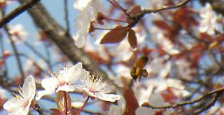 ミツバチの足には大きな花粉だんごが