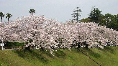 熊本城の空堀の桜