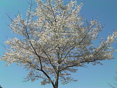 多丘公園の桜