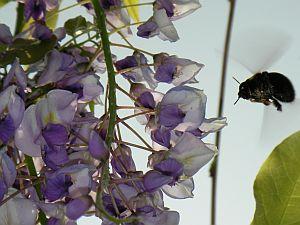 藤の花にやってきたクマバチ