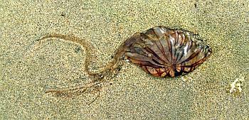 バージェス頁岩のような砂浜のクラゲ