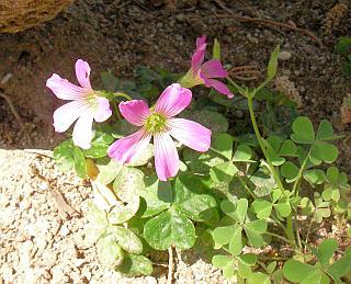 花咲くムラサキカタバミ(多分)