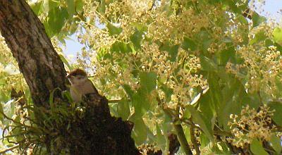 スズメのヒナと花咲くクスノキ