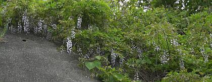 道端から垂れ下がってくる興居島の藤