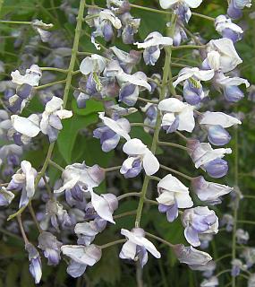 興居島の藤の花