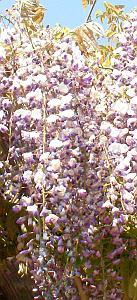 松山城のノダフジの花