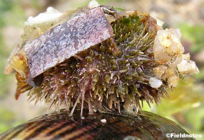 管足で貝につかまるウニ
