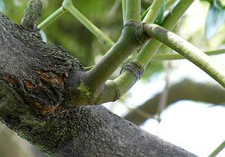 ヤドリギが木から生えているところ