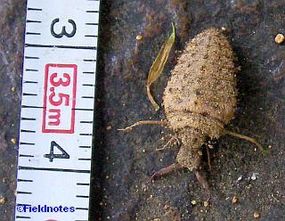 小さいアリジゴク(約1.5cm)