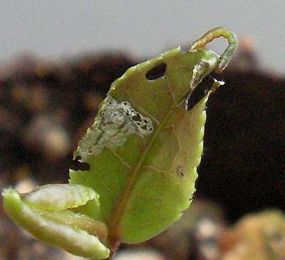 網目の葉とシャクトリムシ