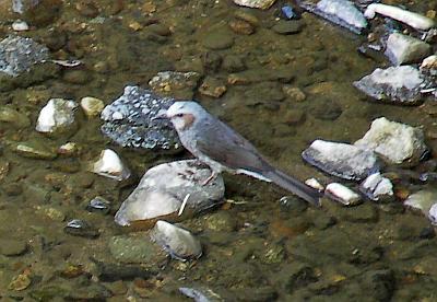 川の中の石の上のヒヨ(ヒヨドリ)