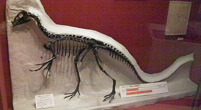 恐竜オルニソレステス(大阪市立自然史博物館)