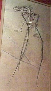 翼竜ランフォリンクス(大阪市立自然史博物館)
