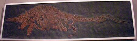 魚竜ステノプテリギウス(大阪市立自然史博物館)
