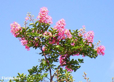 咲きはじめたサルスベリの花