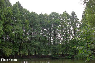 夏のラクウショウの森(大阪市立長居植物園)