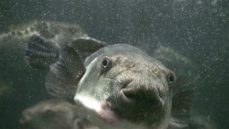 トラフグの親魚。オスは精巣(白子)が高級食材として珍重され、商品価値が高い