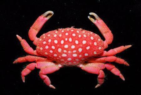 台湾南部の海辺で発見された、イチゴそっくりのカニ