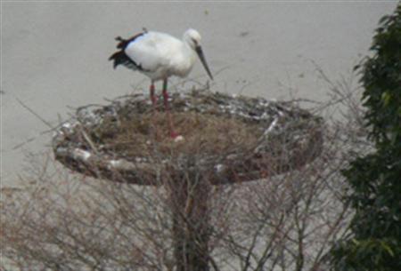 兵庫県豊岡市城崎町戸島の人工巣塔で、同市が22日、国の特別天然記念物のコウノトリが生んだ卵1個を確認した。コウノトリの産卵は今年初めてで、市内では平成18年以降5年連続の産卵。