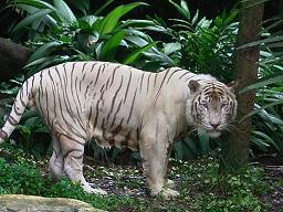 ホワイト・タイガー