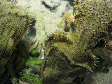 サボテンを食すフトアゴ