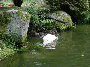 合鴨とアヒルが中庭の池で水浴び!