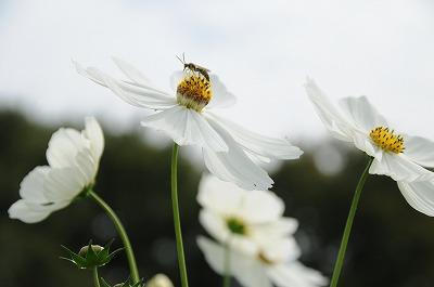 20081004庭の花 085-1