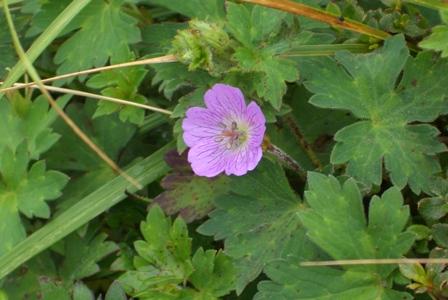ピンクの花CIMG0038