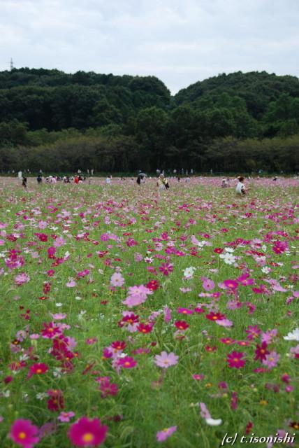 巾着田のコスモス(2008/9/23)