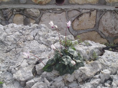 2006-springsyclamen.jpg