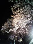070328_sakura.jpg