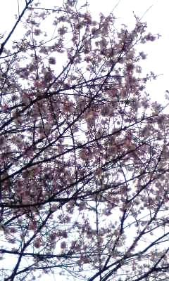 一昨日の桜