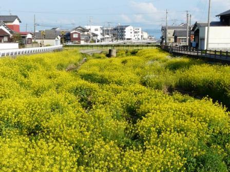 菜の花・菊間川