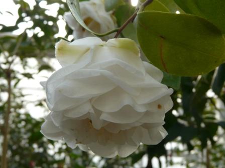 椿 白宝珠咲 2