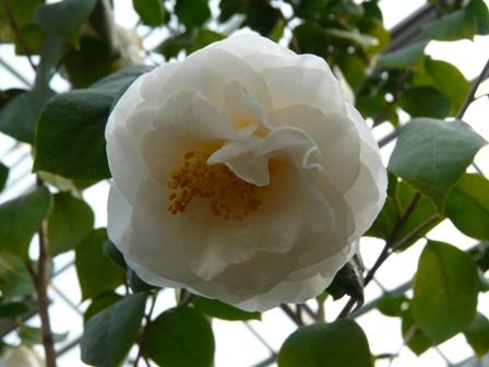 椿 白宝珠咲 1