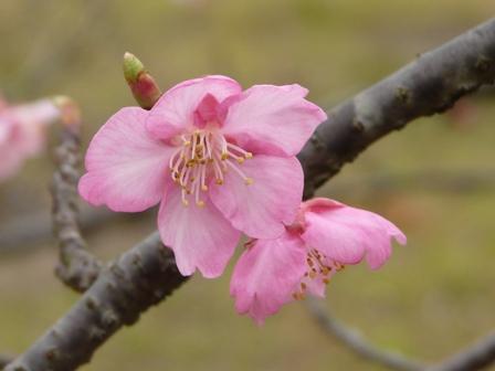 のまうまハイランド 河津桜 4