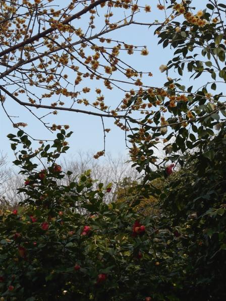 森の交流センター ロウバイと椿