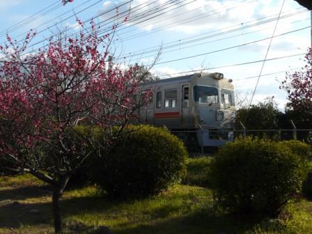 梅津寺 梅と電車 (3000系)