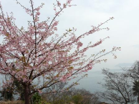 大角海浜公園 河津桜 3