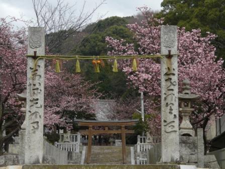 三島神社 薄紅寒桜 1