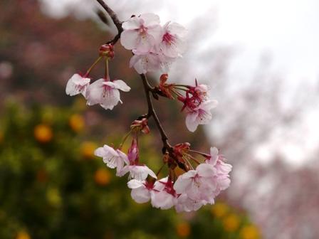三島神社 薄紅寒桜 4
