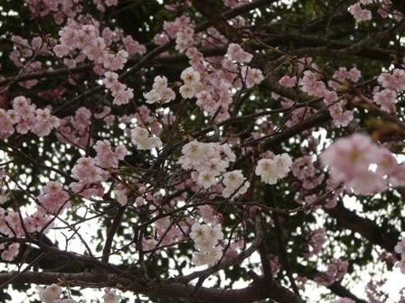 三島神社 薄紅寒桜 10