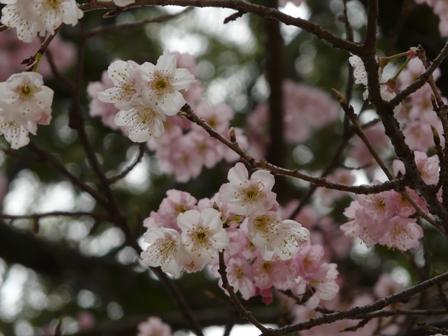 三島神社 薄紅寒桜 11
