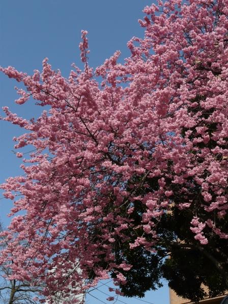 お城山 椿寒桜 1