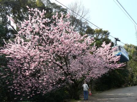 お城山 椿寒桜 3