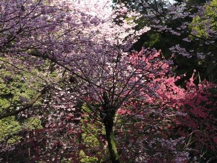 お城山 椿寒桜 & 寒緋桜